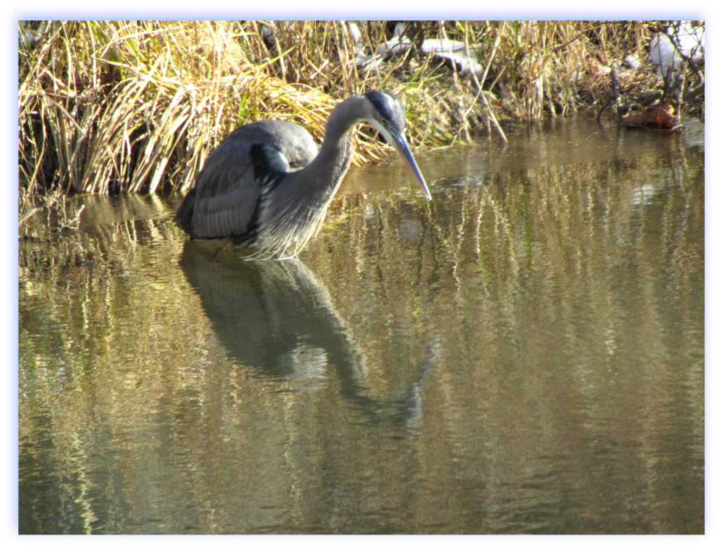 Great Blue heron in Torne Valley, NY