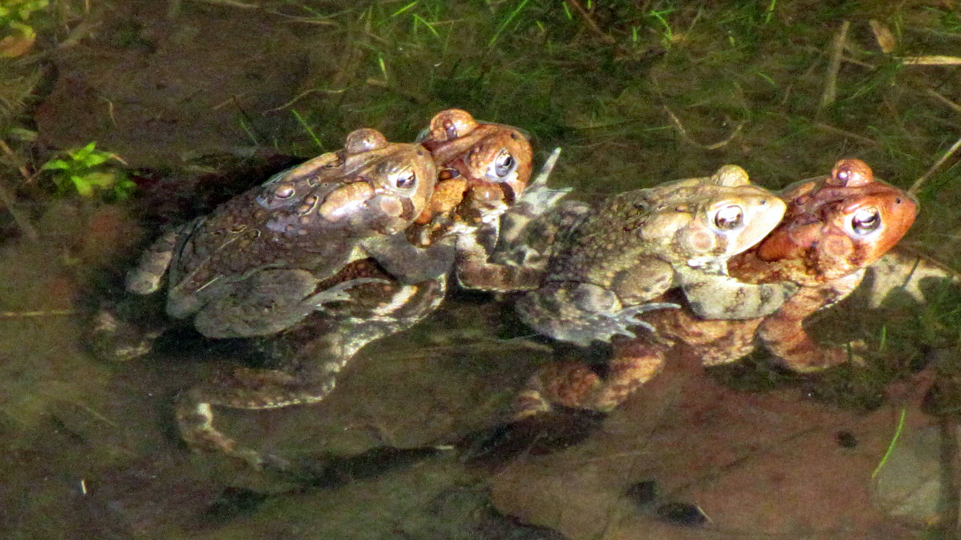 American toads in the Spring