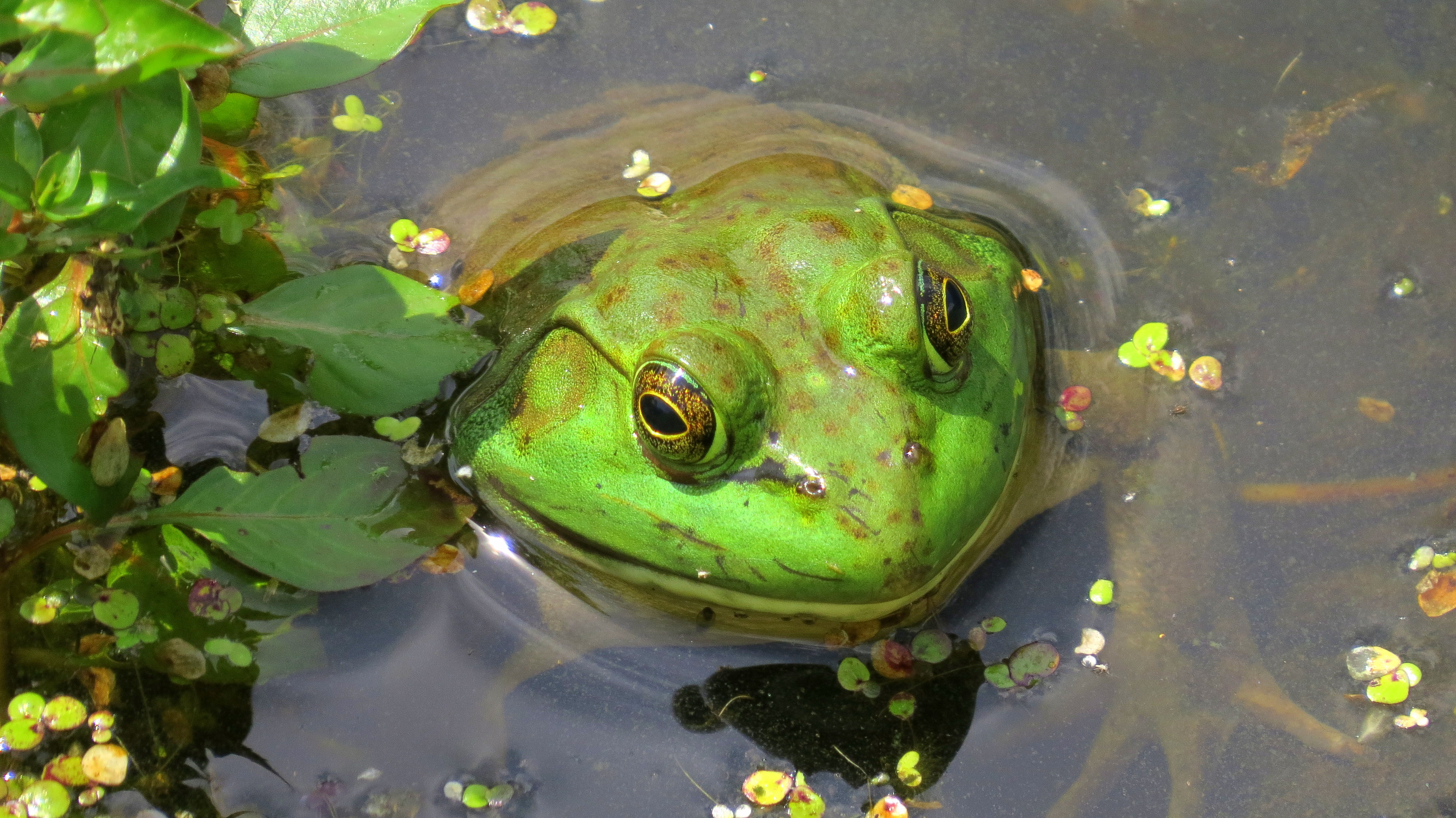Bull Frog in Sterling Forest, NY