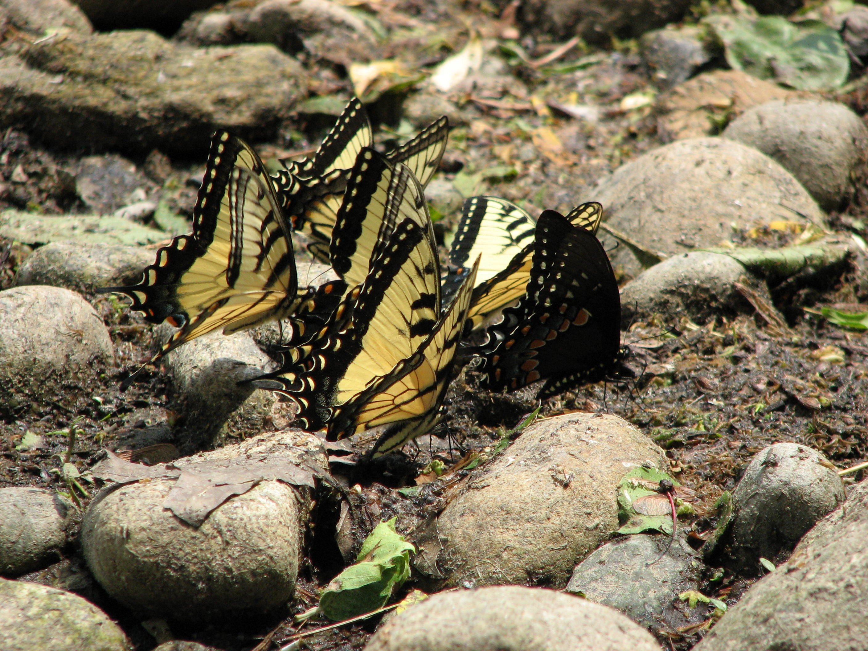 Swallow tailed butterflies by the Ramapo River in the Hamlet of Ramapo
