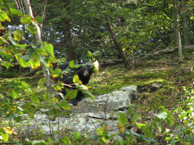 Black bear, Sloatsburg, NY