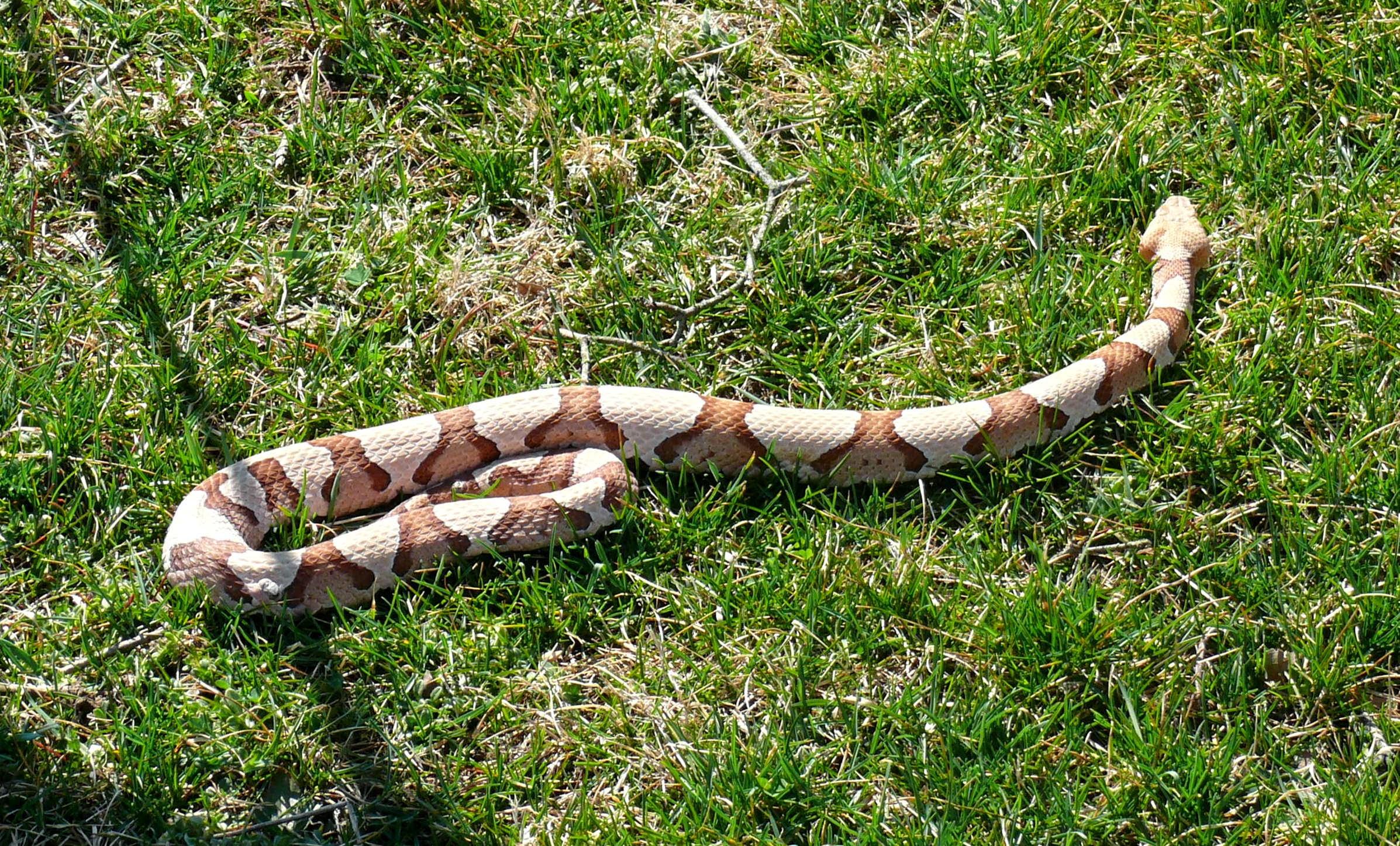 Copperhead snake, Sloatsburg, NY