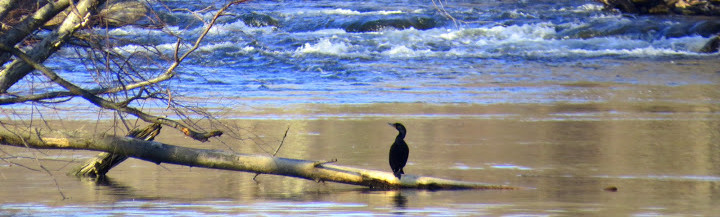 Cormorant suns itself while fishing on the Ramapo River, Town of Ramapo, New York.